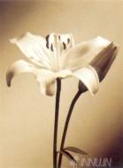 Fine art  - White Lily